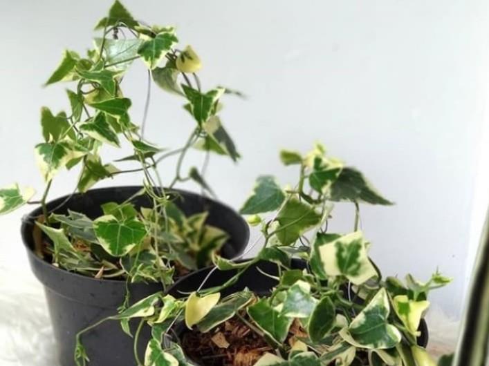 Bunga Ivy